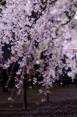 リベンジ:夜桜04