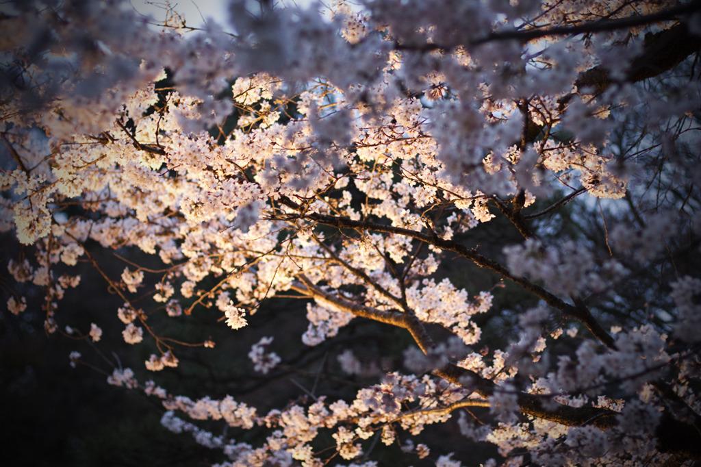 リベンジ:夜桜02