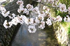 哲学の道の桜