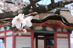 清水寺の桜(1)