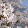 京都 賀茂川の桜(2)