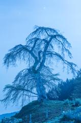月下の妖樹
