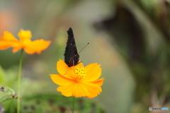 クジャク蝶の顔③