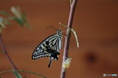 アオムシから蝶へ⑥