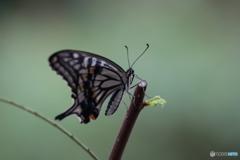 アオムシから蝶へ⑧