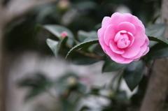 ピンクの乙女