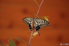 アオムシから蝶へ⑦