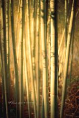 ひかりの竹林