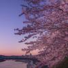 夜明け色の桜並木
