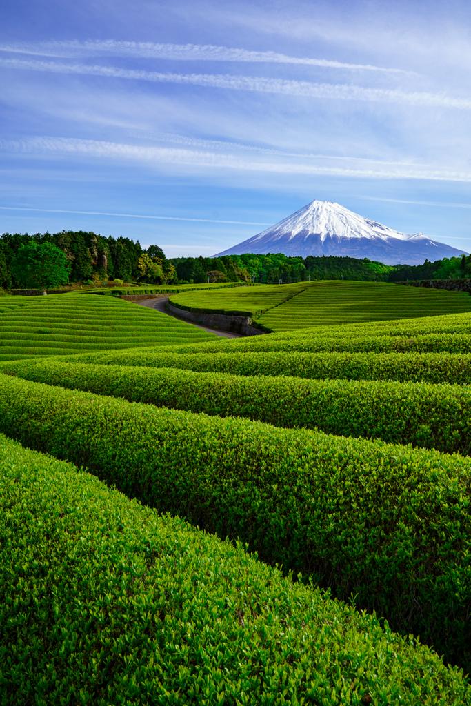 茶畑と富士山Ⅱ