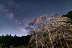 星の下の淡墨桜