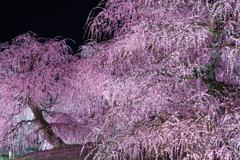 夜に浮かぶ枝垂れ梅Ⅳ