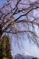枝垂れ桜と富士