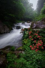 渓流に咲くサツキ