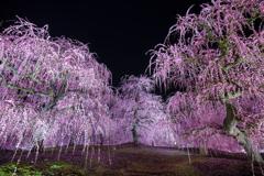 夜に浮かぶ枝垂れ梅