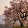 わに塚に桜Ⅲ