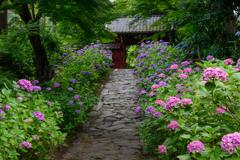 紫陽花参道Ⅱ