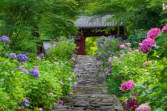 紫陽花参道