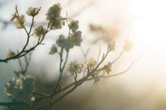 光浴びる白梅