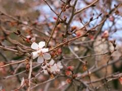 寒咲の桜 2