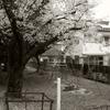 春雨に散る桜