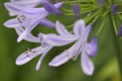 rainy violet2