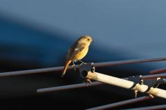 我が家の冬の守り鳥