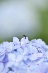 紫陽花と2