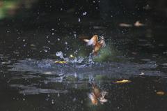 カワセミの織り成す水の芸術3