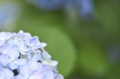 紫陽花と1