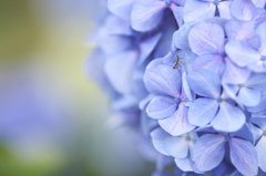紫陽花と3