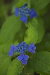 Blue rain floral