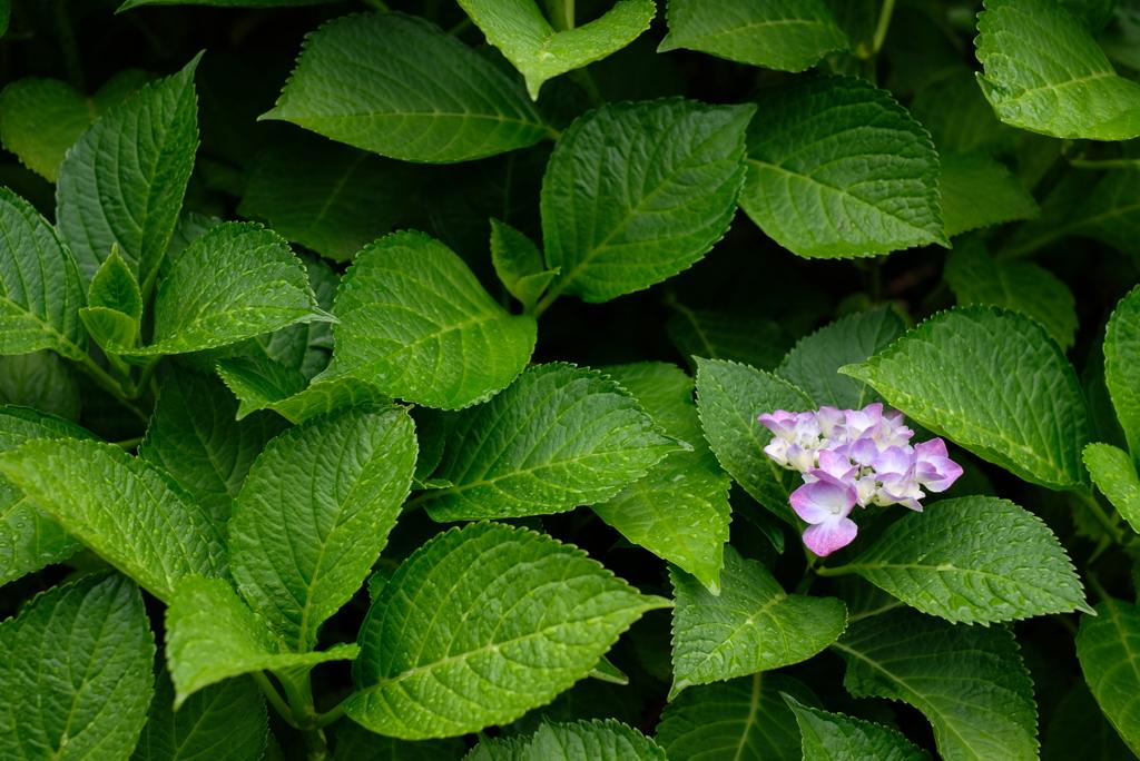 入梅の季節に紫陽花を撮る