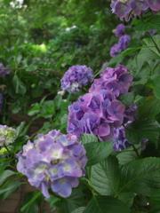 紫の連なり