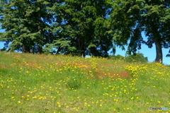 ブタナの咲く光景