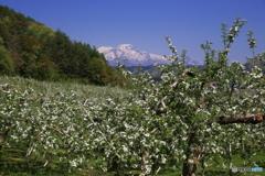 りんご咲く