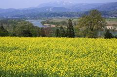 飯山菜の花まつり