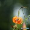 夏の花図鑑 2 コオニユリ