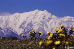 福寿草と山と