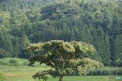 ねむの木一本