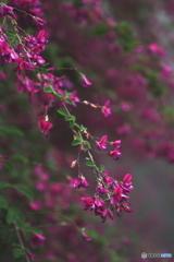 秋の七草 萩