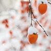 柿 その壱