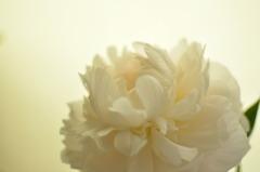 光を抱く花弁