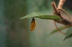 蝶のさなぎ