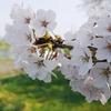 みちのく桜Ⅳ