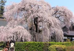 慈雲寺の枝垂れ桜