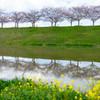 加古川堤の桜