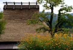 コスモス咲く美山