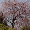 御坂の一本桜