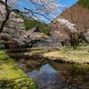 佐中千年家と桜